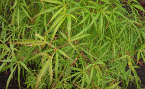Acer palmatum 'Koto no ito' Japanese Maple Tree
