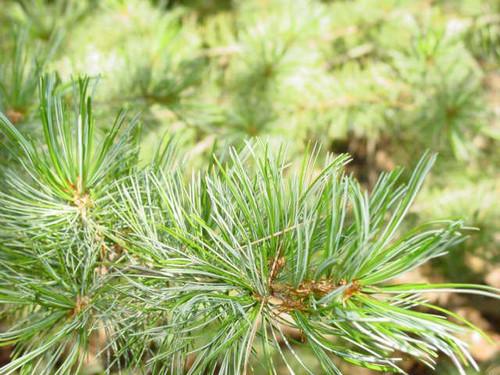 Pinus parviflora ' Hime goyo matsu  ' Dwarf Japanese White Pine