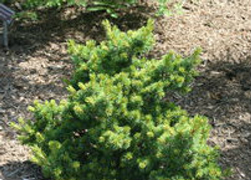 Pinus parviflora ' Hagoromo ' Dwarf Japanese White Pine