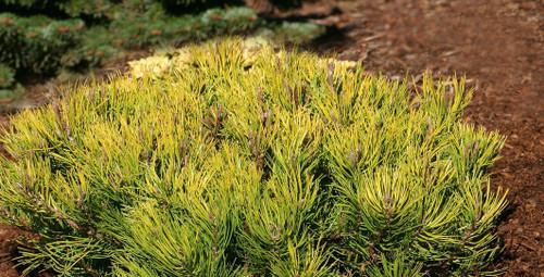 Pinus mugo Aurea Gold Mugo Pine