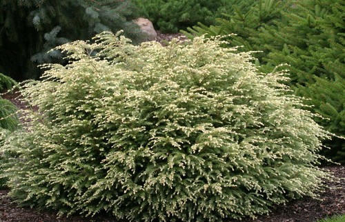 Tsuga canadensis Moon Frost Dwarf White Canadian Hemlock