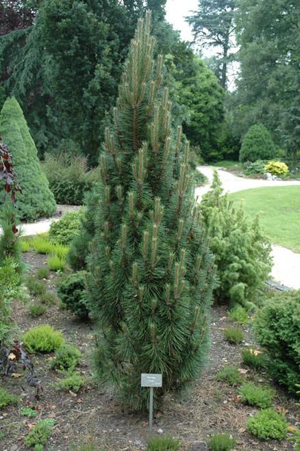 Pinus nigra ' Frank ' Dwarf Columnar Austrian Pine