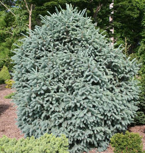 Picea engelmannii Compacta Dwarf Engelmann Spruce