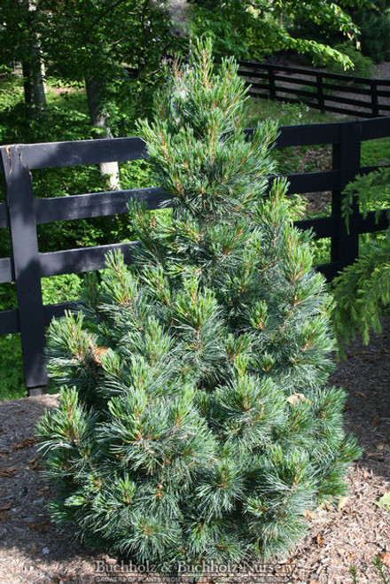 Pinus Cembra ' Westerstede ' Dwarf Upright Swiss Stone