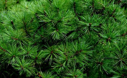 Pinus cembra ' Pygmaea ' Dwarf Swiss Stone Pine
