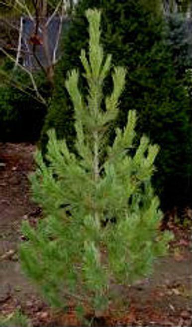 Pinus cembra Glauca Nana Dwarf Blue Swiss Stone Pine