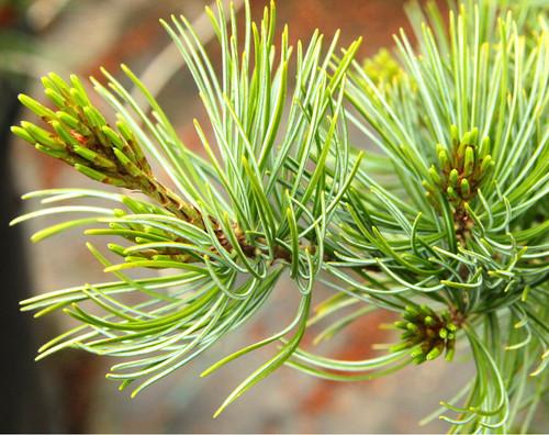 Pinus parviflora ' Venus ' Dwarf Japanese White Pine