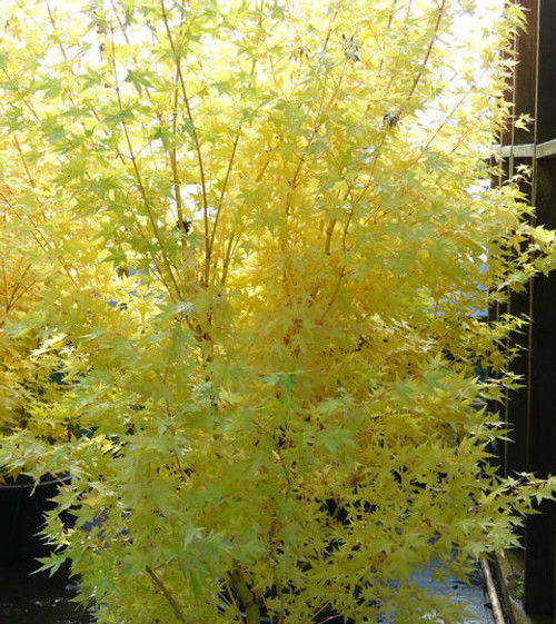 Acer palmatum ' Bihou ' Coral Yellow Bark Japanese Maple Tree