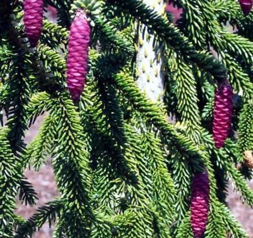 Picea orientalis ' Pendula ' Weeping Oriental Spruce