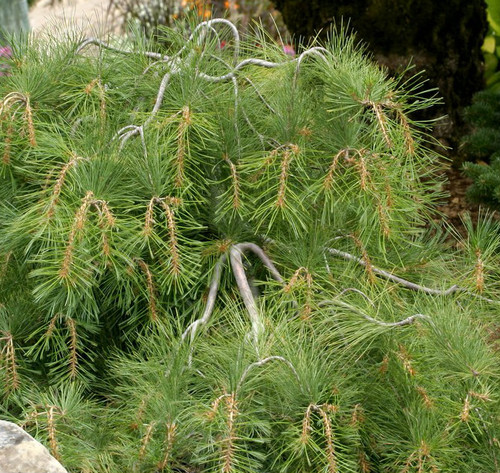 how to train a weeping white pine