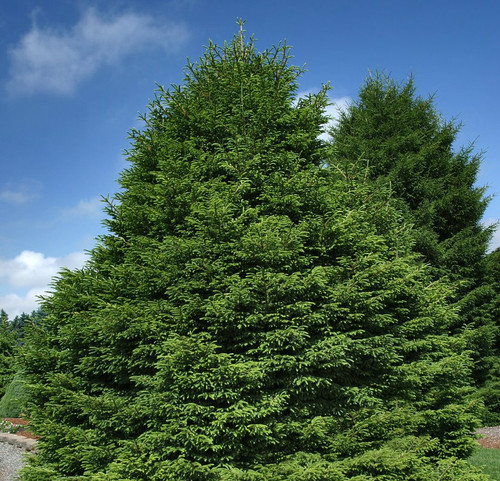 Picea orientalis Shadow's Broom Dwarf Oriental Spruce
