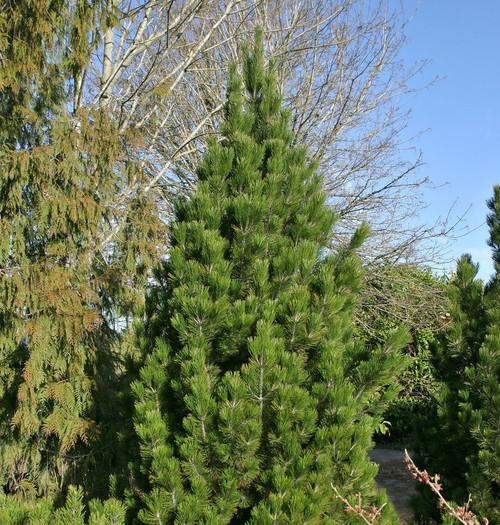 Pinus leucodermis heldreichii Emerald Arrow Narrow Upright Bosnian Pine