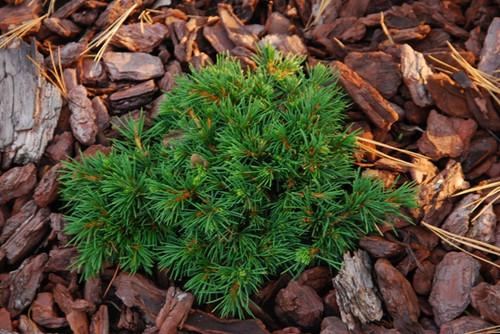 Picea abies ' Mikulasovice ' Miniature Alberta Spruce
