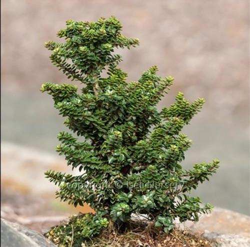 Ilex crenata ' Jersey Jewel ' Miniature Japanese Holly