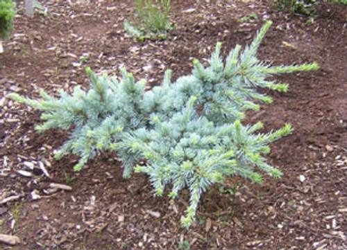Cedrus atlantica ' Sapphire Nymph ' Dwarf Blue Atlas Cedar