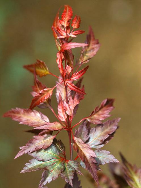 Acer palmatum ' Beni hagoromo ' Red Angel's Robe Japanese Maple
