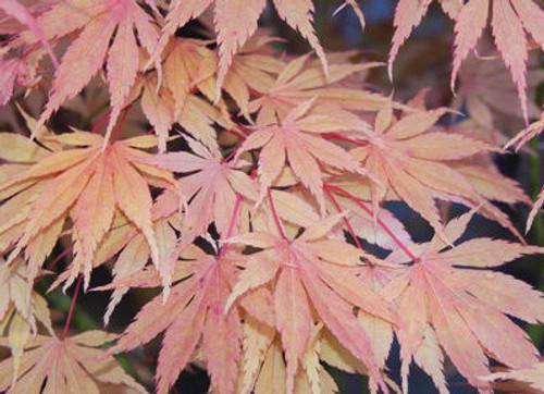 Acer palmatum Killarney Japanese Maple Tree