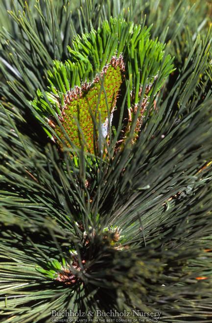 Pinus Thunbergiana Ogi Dwarf Japanese Black Pine
