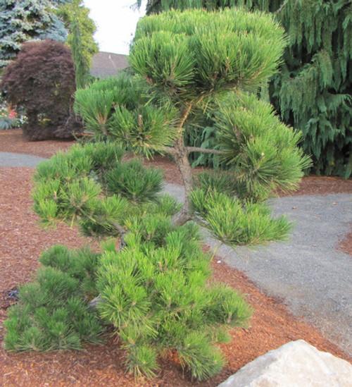 Pinus thunbergiana ' Hakuho ' Dwarf Japanese Black Pine