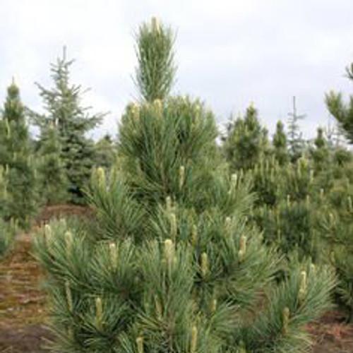 Pinus cembra Silver Sheen Blue Green Swiss Stone Pine