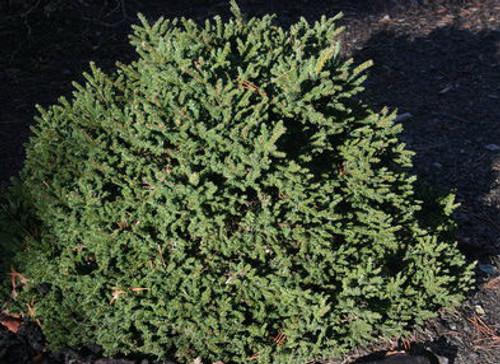Mt Vernon Miniature Oriental Spruce