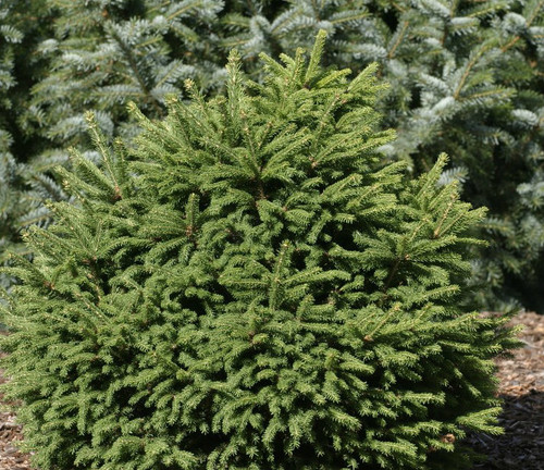 Picea Abies Pusch Hairstyle