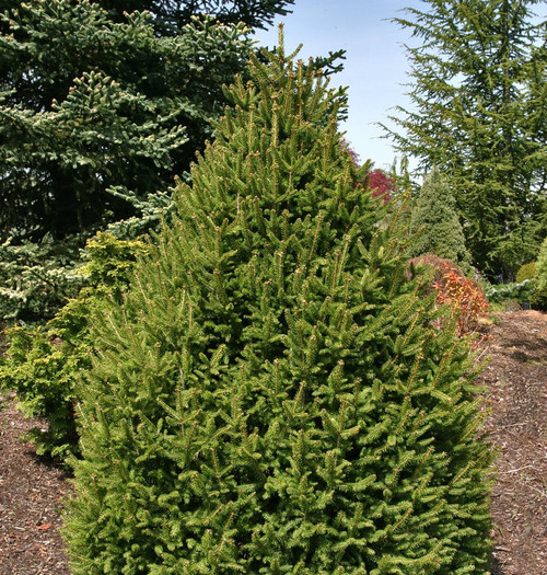 Picea abies Sherwood Compact Narrow Norway Spruce