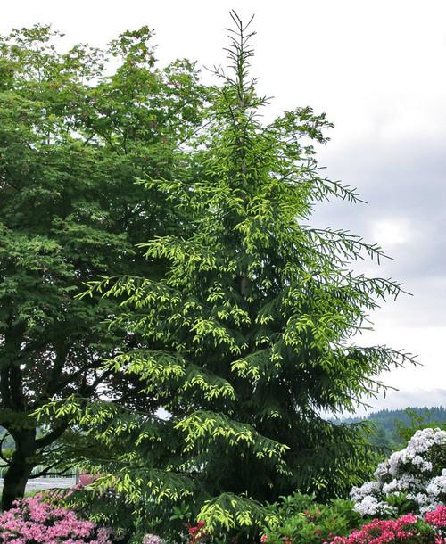 Picea orientalis ' Auereospicata ' Spring Golden Oriental Spruce
