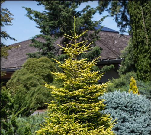 Picea orientalis ' Firefly ' Dwarf Golden Oriental Spruce
