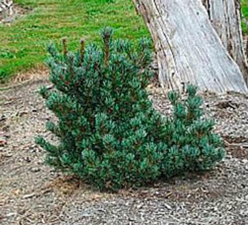 Pinus parviflora ' Pent Azuma ' Dwarf Japanese White Pine