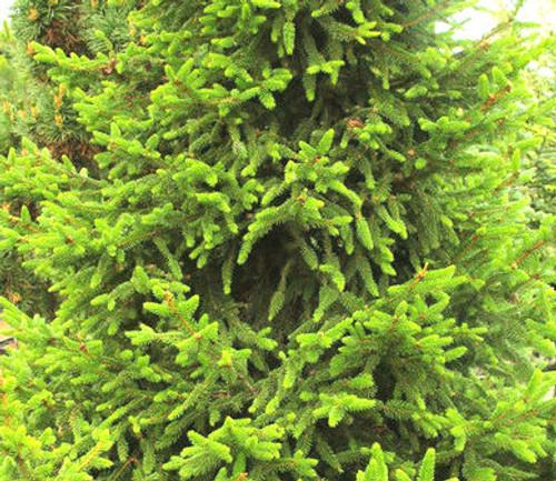 Picea abies Will's Zwerg Dwarf Alberta Spruce