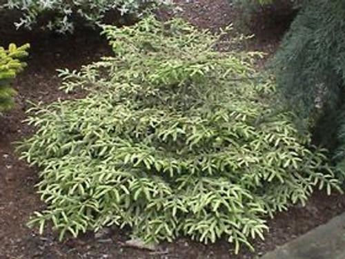 Picea orientalis Silver Seedling White Dwarf Oriental Spruce