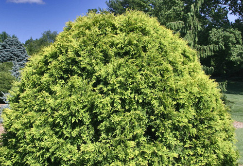 Thuja occidentalis Golden Globe Dwarf Eastern Arborvitae