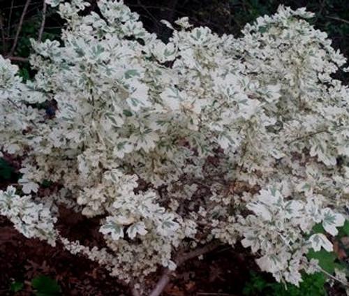 Acer campestre ' Carnival ' Variegated Hedge Maple