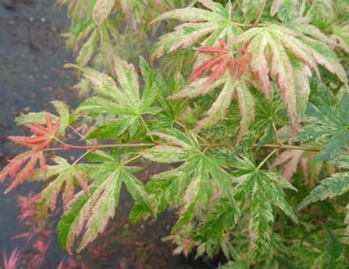Acer palmatum Cosmos Variegated Japanese Maple