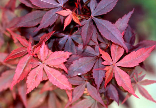 Acer palmatum ' Hime shojo ' Dwarf Japanese Maple