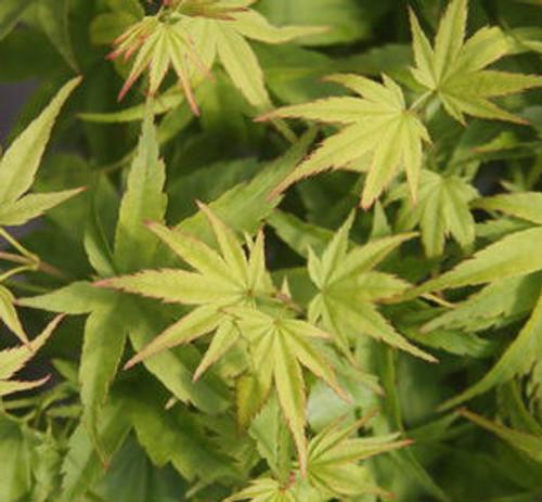 Acer palmatum Lima Gold Dwarf Japanese Maple