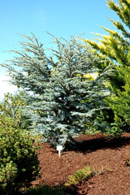 Cedrus atlantica 'Horstmann' Dwarf Blue Atlas Cedar Tree
