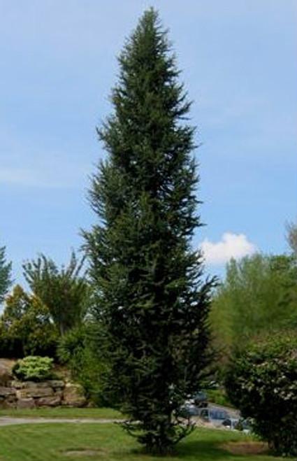 Cedrus atlantica 'Argentea Fastigiata' Narrow Atlas Cedar