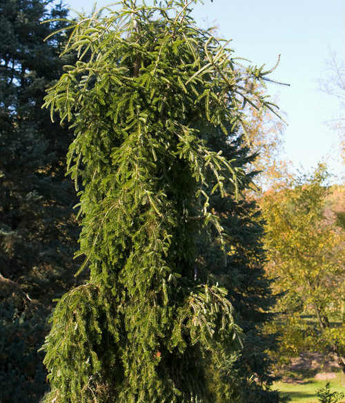Abies alba ' Green Spiral ' Weeping Silver Fir