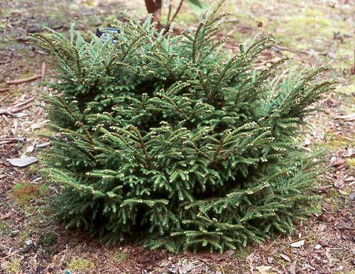 Picea orientalis ' Barnes ' Dwarf Oriental Spruce