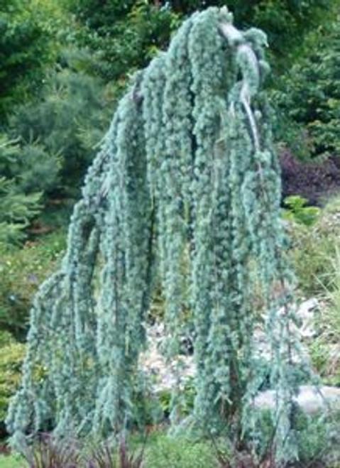 weeping blue atlas cedar tree Cedrus atlantica 'Glauca Pendula'