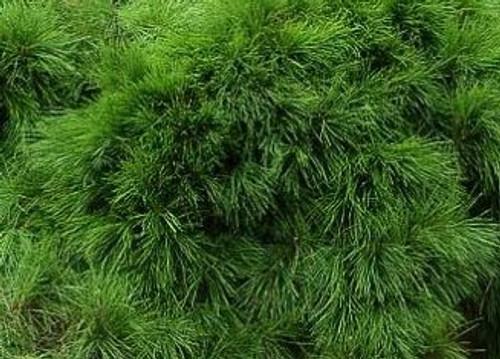 Pinus densiflora 'Pendula' Weeping Japanese Red Pine