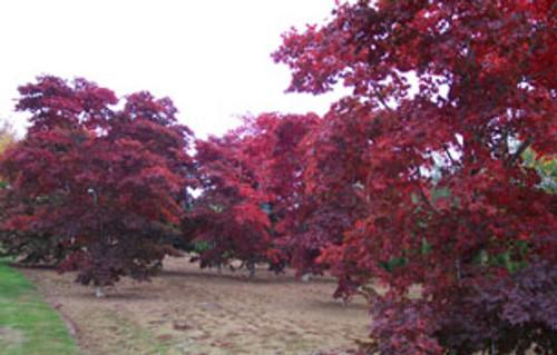 Acer palmatum ' Bloodgood ' Japanese Maple