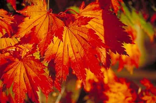 Acer japonicum ' Attaryi ' Fullmoon Maple Tree
