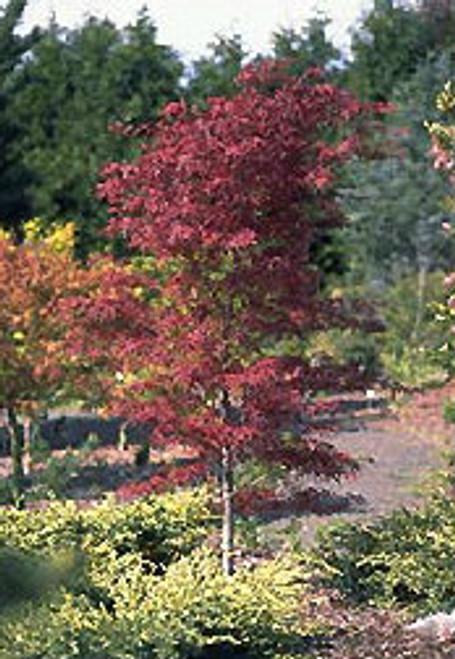 Acer palmatum ' Beni Otake ' Japanese Maple Tree