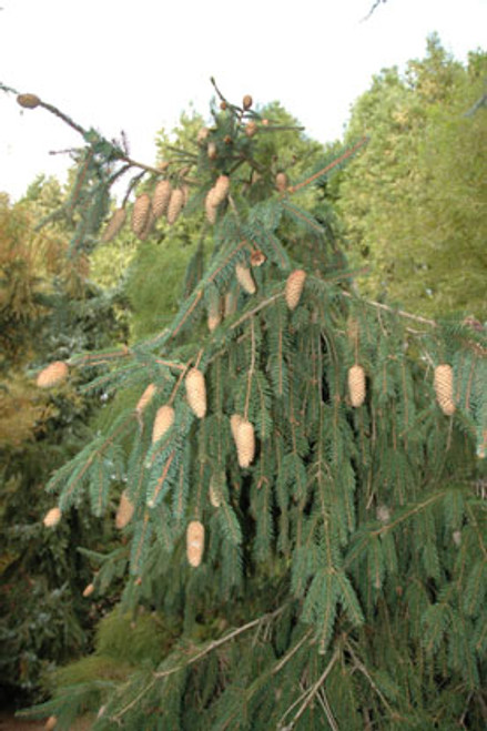 Picea abies 'Acrocona' Norway Spruce