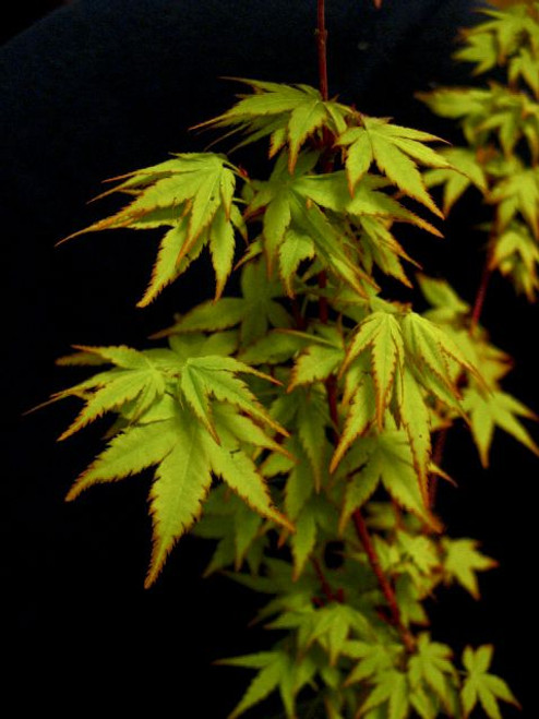 Acer palmatum 'Winter Flame' Dwarf Coral Bark Japanese Maple