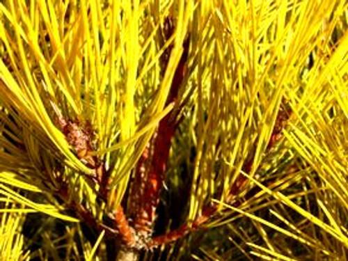 Pinus densiflora ' Aurea ' Golden Japanese Red Pine