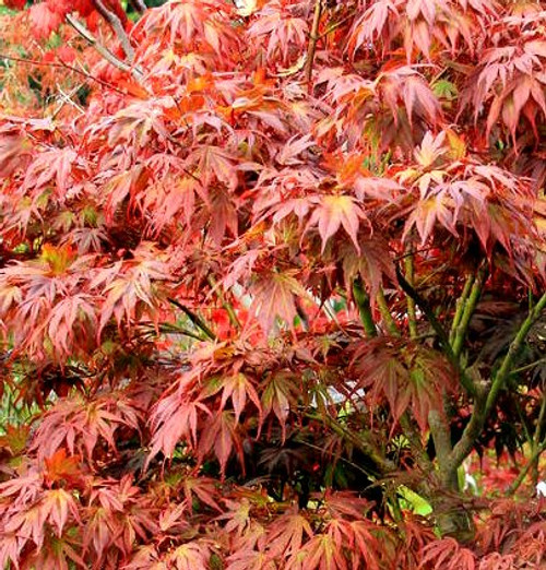 Acer palmatum 'Oregon Sunset' Japanese Maple Tree